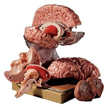 bs 25 comprehensive brain somso comprehensive brain model each