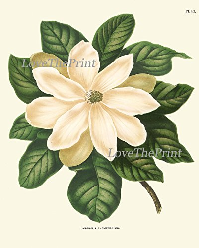 Magnolia-Flower-Print-Set-of-4-Prints-Antique-Beautiful-White-Flowers-Blooming-Tree-Spring-Summer-Nature-Home-Room-Decor-Wall-Art-Unframed