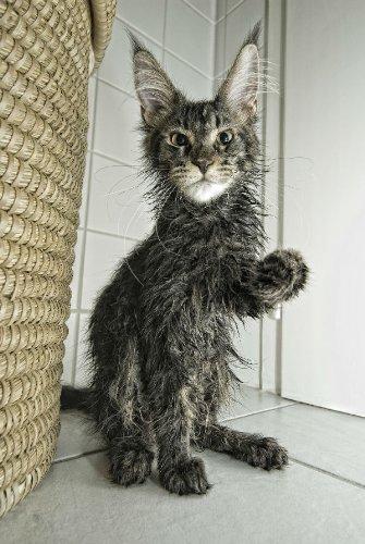 """Juego de 2 tarjetas postales de mal Gatos: """"Gatos Ropa – Nasse"""