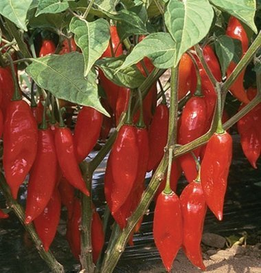 David's Garden Seeds Pepper Hot Paper Lantern D2343 (Red) 25 Organic Seeds
