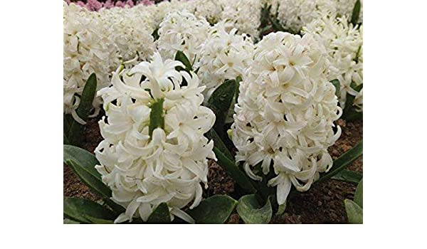 Amazon Com White Hyacinth Bulbs 6 Bulb Best Selling Products