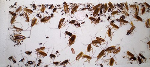 APS 12 Cockroach Spider Bed Bug Scorpion Silverfish Insec...