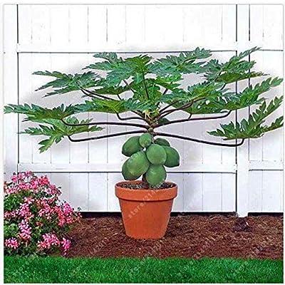 Portal Cool 30Ps/Bag Dwarf Hovey Papaya Seeds Bonsai Organic Fruit Seeds Tree Seeds Rare : Garden & Outdoor