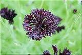 Centaurea cyanus seeds Black ball Cornflower Chernyy Shar Organically Grown NON-GMO