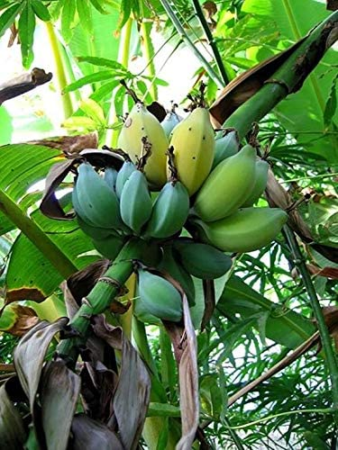 Musa balbisiana Ornamental Wild Thai Banana Tropical plant seeds Grower Favorite