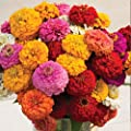 David's Garden Seeds Flower Zinnia Oklahoma Formula Mix Improved SL7230 (Multi) 100 Non-GMO, Open Pollinated Seeds