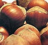 American hazelnut FILBERT tree seedling nut tree edible hazel nut LIVE PLANT