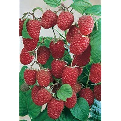 JDR Seeds 50 Stratified Rouge Giant Raspberry Seeds : Garden & Outdoor