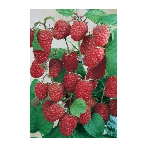 Top JDR Seeds 50 Stratified Rouge Giant Raspberry Seeds for cheap