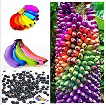 (Kofun Flower Vegetable Fruit Seeds Petal Plants Home Garden Yard Decor 100 Pieces Rainbow Banana Seeds )