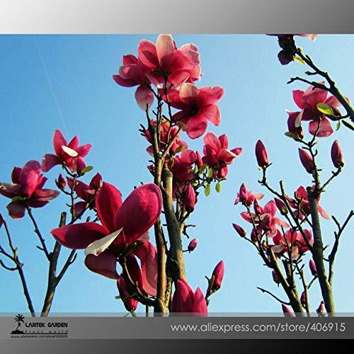 Go Garden Bellfarm Bonsai Heirloom Chinese Red Yellow Pink White Yulan Magnolia Denudata Fragrant Lilytree High Germination -10Pcs/Pack: E3454 X T4