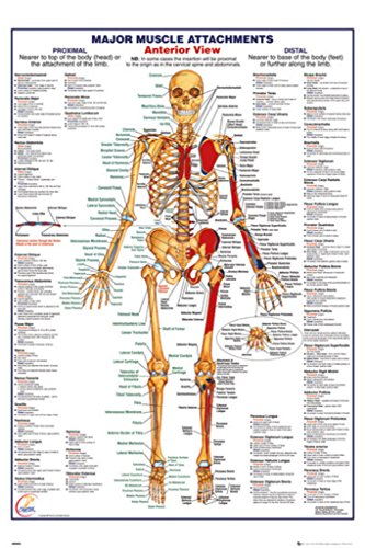 Human Body Major Muscle Attachments Anterior Reference Chart Poster 24x36