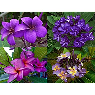 MIXED 4 CUTTING  FRAGRANT PLUMERIA'S CUTTING WITH ROOTED 7-12 INCHES REGISTERED TRACK ONLINE 100%GUARANTEE SATISFICATION AND MONEY BACK