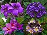 ''MIXED 4 CUTTING'' FRAGRANT PLUMERIA'S CUTTING WITH ROOTED 7-12 INCHES REGISTERED TRACK ONLINE 100%GUARANTEE SATISFICATION AND ...