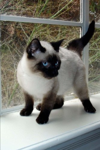 (Seal Point Siamese Kitten on a Window Ledge Cat Journal: 150 page lined notebook/diary)