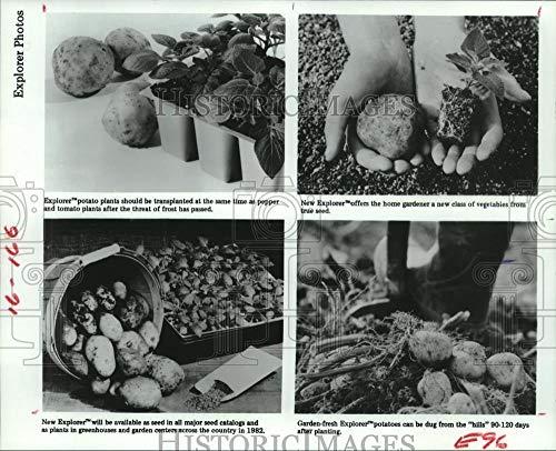 Vintage Photos 1982 Press Photo New Explorer Potato Seeds an Plants Available in ()