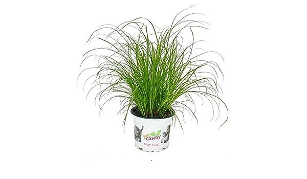 hierba de gato - Cyperus alternifolius - 3 plantas - al apoyo digestivo de gatos: Amazon.es: Jardín