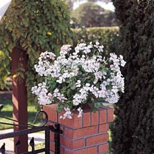 Geranium Ivy Summer Showers Series White Blush (Geranium Summer Showers)