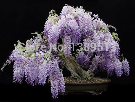 5 Wisteria Seeds Bonsai Tree Seeds Chinese Wisteria Vine Violet Blue Flowers for home garden planting and decoration