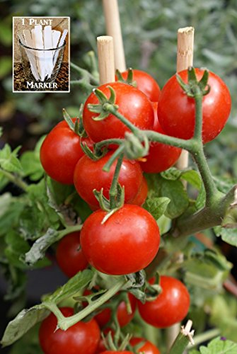 Summer Sweet Cherry Tomato (Organic) Tomato 150 Seeds By Jays Seeds Upc 650327337497 + 1 Free Plant Marker (Indeterminate Tomato Plants)