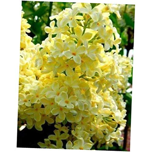 Seeds 25 Yellow Lilac Seeds Tree Fragrant Hardy Perennial Flower Shrub Garden Bloom
