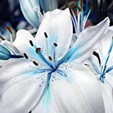 1 Bag Blue Heart Lily Plant Seeds, Refreshing,Fragrance Plant Lily Flower Seeds for Home Garden Potted Bonsai DIY Planting