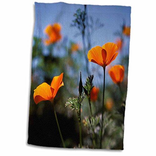 California Poppy Photo - 3