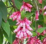Cestrum elegans Smithii | Pink Cestrum | 10_Seeds