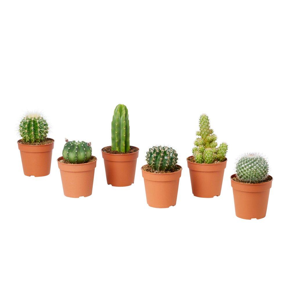 Cactus ornamentali SET DI 6 PIANTE GRASSE VERE 'MEXICO' in vaso 5. 5 cm VEG SRLS