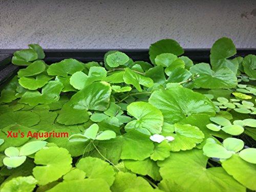 Бразильский Pennywort (Hydrocotyle leucocephala), Живой Аквариум / Водный / Плавающий / Пруд / Пресноводное Растение, Аквариум с растениями G & Z