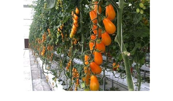 HONIC 100 Unidades Mezcla de Verduras Tomate, Plantas en macetas ...