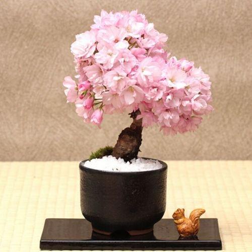 20pcs-cherry-bonsai-bonsai-tree-japanese-new-blossoms-sakura-seeds-flower-seeds