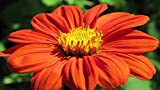 Isla's Garden Seeds Mexican Sunflower Flower Seeds! - 100+ Seeds (Tithonia rotundifolia) 90% Germination! - Total Quality!