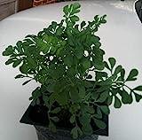 "9EzTropical - Ruda Plant - Common Rue (Ruta graveolens) Herb of Grace - Ship in 3"" Pot"