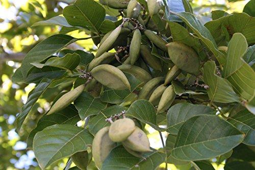 20 Millettia pinnata, Pongamia glabra, Derris Indica,Pongamia pinnata Seeds, Indian Beech Tree, Pongame Oil Tree