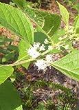 American Beautyberry (Callicarpa americana), 100 Certified Pure Live Seed, True Native Seed