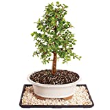 Brussel's Live Dwarf Jade Indoor Bonsai Tree - 8 Years Old; 10'' to 14'' Tall with Decorative Container, Humidity Tray & Deco Rock
