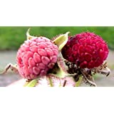 15 Cold Stratified Thimbleberry Seeds