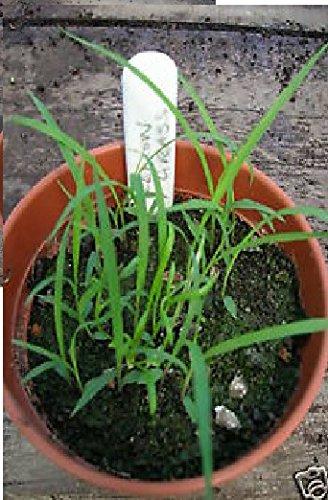 Cymbopogon flexuosus Zitronengras 35 Samen