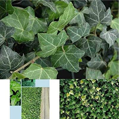 """AchmadAnam - Live Plant Ivy Hedera Helix Baltic English 1 Plant Graden Hardy Groundcover 4"""" Pot Outoor : Garden & Outdoor"""