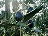 New Olive , OLIVE TREE , Fruit , Olea Europaea , 15 SEEDS !