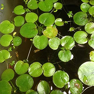 Duckweed Seeds, 20Pcs Pond Plant Lemna Minor Duckweed Seeds Aquarium Landscaping Decoration - 20pcs Duckweed Seeds : Garden & Outdoor