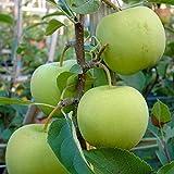 Grüner Garten Shop Golden Delicious Apfelbaum Winterapfel aromatisch Buschbaum ca. 120-150 cm 9,5 Liter Topf MM 111