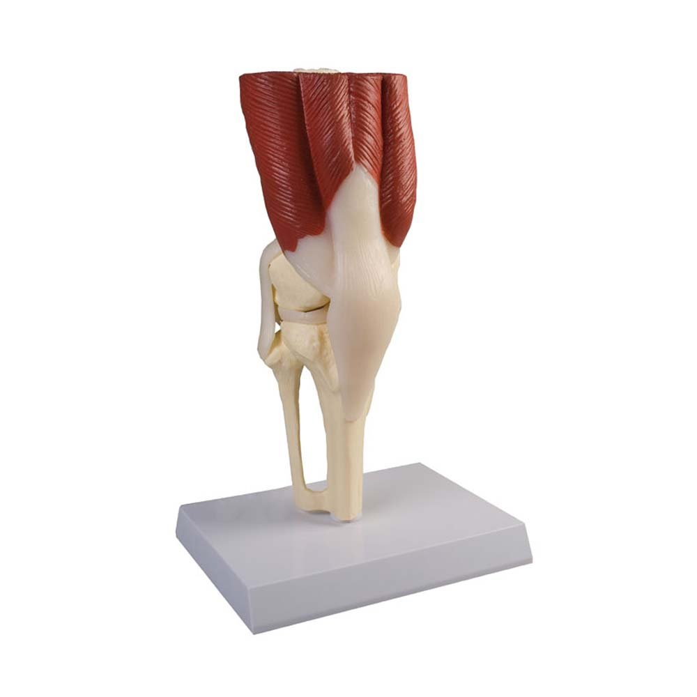 Anatomie Modell Kniegelenk mit Muskulatur, menschliches Knie ...