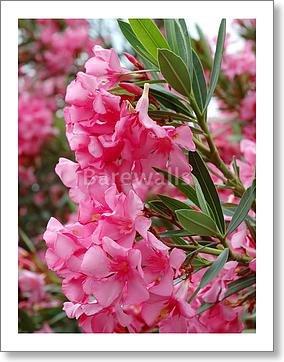 Amazon barewalls beautiful pink flowers mediterranean plants barewalls beautiful pink flowers mediterranean plants paper print wall art 10in x 8in mightylinksfo