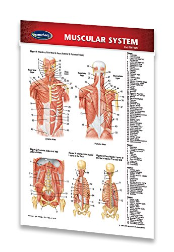 Muscular System Guide - Medical Pocket Chart - Anatomy Quick Reference Guide by Permacharts