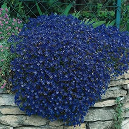 Amazon 50 aubrieta rock cress bright blue perennial flower 50 aubrieta rock cress bright blue perennial flower seeds ground cover mightylinksfo