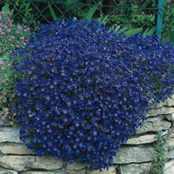 Amazon 50 aubrieta rock cress bright blue perennial flower 50 aubrieta rock cress bright blue perennial flower seeds ground cover mightylinksfo Image collections
