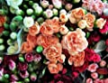 Seeds Rainbow Carnation Mix Mixed Colors Dianthus Caryophyllus Flower Get 100 Seeds #LC01YN