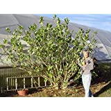 Giant Milkweed Tree, Calotropis procera, MPC100A